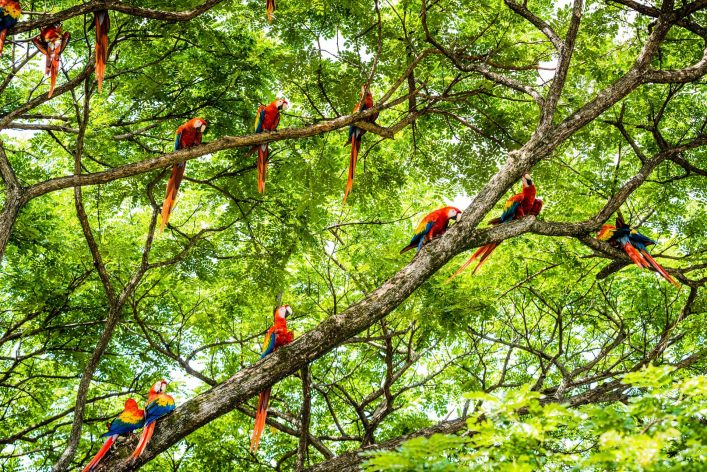 XXXL: Flock of scarlet macaws in the wild