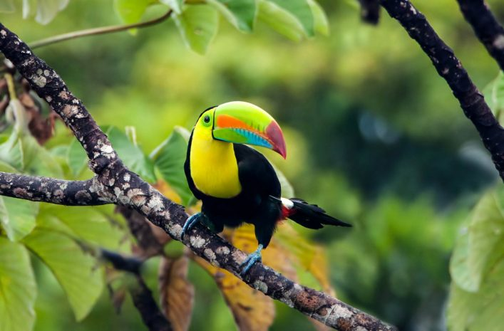 Keel-billed Toucan sitting on a branch in the jungle