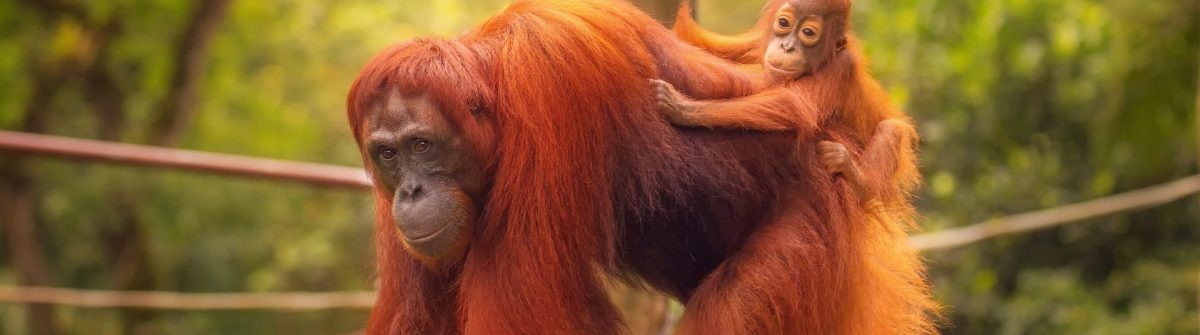 Young-orangutan-is-sleeping-on-its-mother_shutterstock_311420567-1920×1280-cropped
