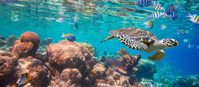 Hawksbill-Turtle-Eretmochelys-imbricata-floats-under-water.-Maldives-Indian-Ocean-coral-reef._shutterstock_248941750