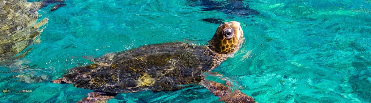 Turtle-Views-around-the-Caribbean-island-of-Curacao-shutterstock_381223507-2